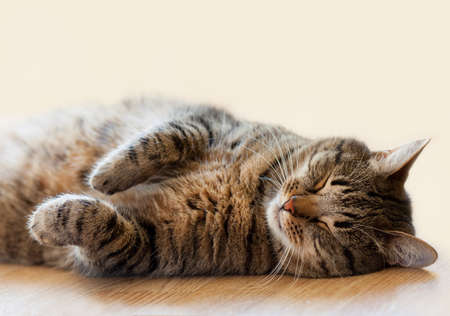 Tabby cat sleeping on the floor lying on her back 版權商用圖片