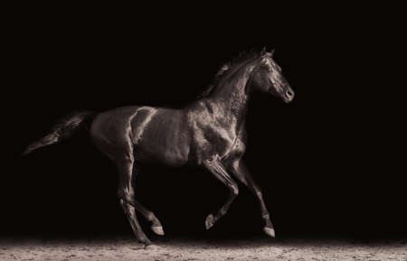 trakehner: Ravens running young horse galloping on a black background