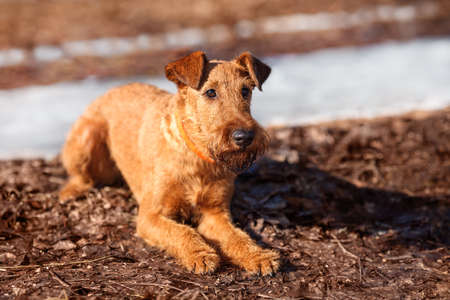 The Irish Terrier lays on the ground and looking forward