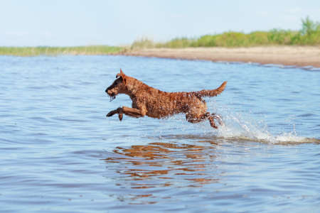 The Irish Terrier jumping over the water in the summer