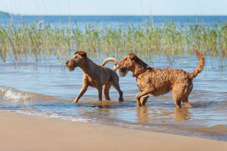 Two Irish Terriers playing together in the water Stock Photo
