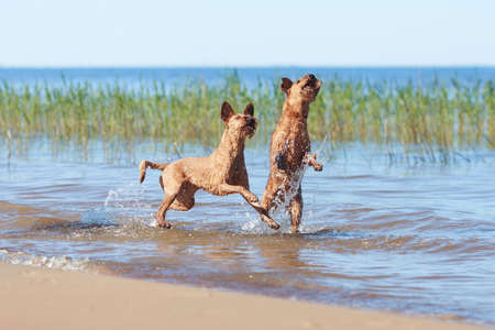 Two Irish Terriers playing together in the water Reklamní fotografie