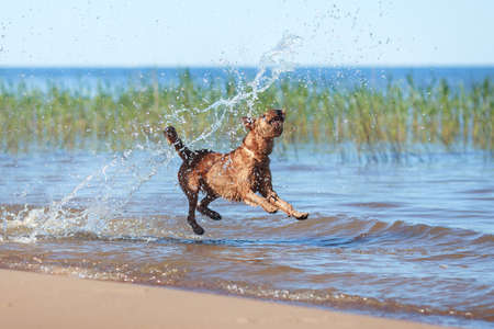 Happy Irish Terrier jumping in the water