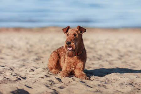 Happy Irish Terrier is lying on the sand near the water Stock Photo