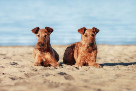 Two Irish Terrier lying together on the sand near the water Reklamní fotografie