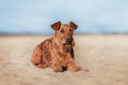 Happy Irish Terrier is lying on the sand near the water Reklamní fotografie