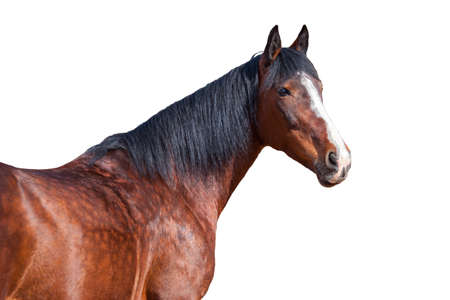 Portrait of Bay horse on a white background. Reklamní fotografie