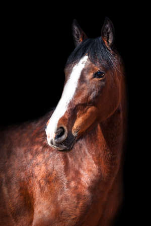Portrait of Bay horse on black background. View. Stock Photo