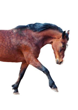 One Bay horse stepping forward. Side view. Reklamní fotografie