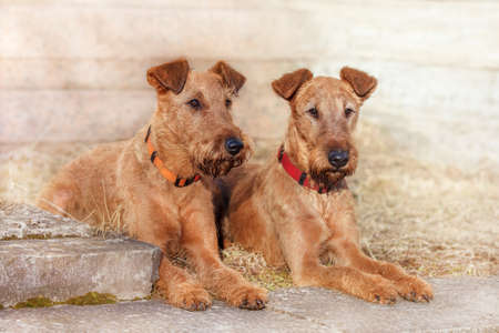 Two red-haired Irish Terrier lie next to the wall