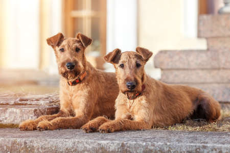 Two red-haired Irish Terrier lie next to the background of the building