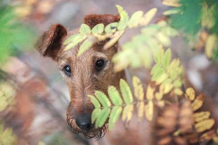 Young Irish Terrier hides in autumn leaves Reklamní fotografie