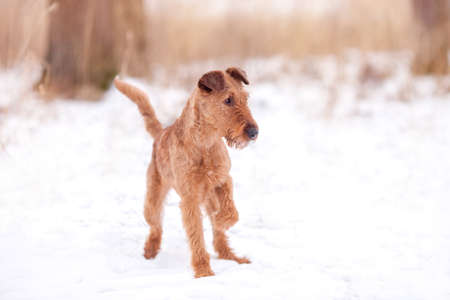Red Irish Terrier plays in the nature in the snow. Reklamní fotografie
