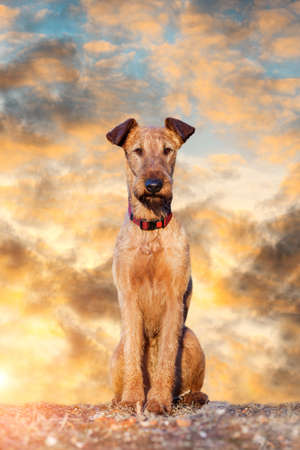 Red Irish Terrier in the sky at sunset Reklamní fotografie