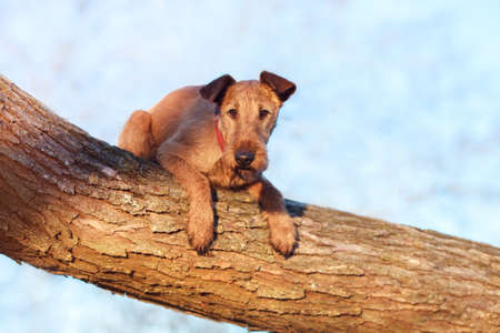 Red Irish Terrier performs a trick on the tree. Reklamní fotografie