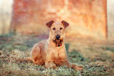 Red Irish Terrier against a brick wall in the Park Stock Photo
