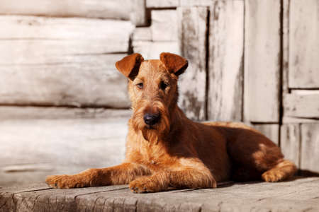Red Irish Terrier lies on the porch of an old wooden house.