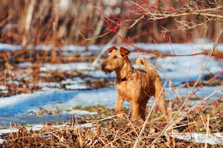 Red Irish Terrier walks in the forest in spring