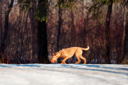 Red Irish Terrier walks in the snow with a ball Reklamní fotografie