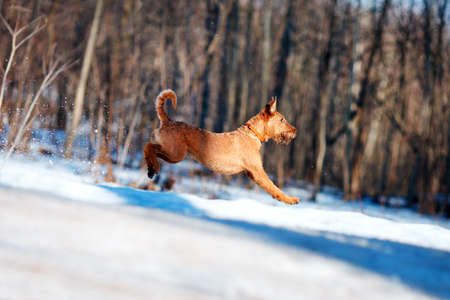 Red Irish Terrier jumping in the snow on the background of trees