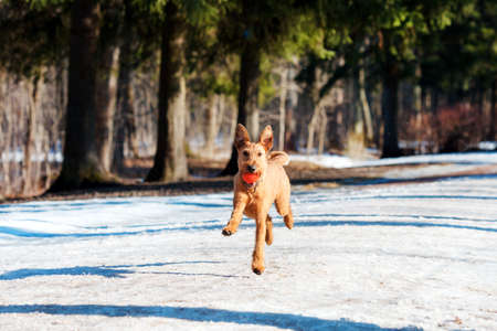 Red Irish Terrier plays with ball in the Park in winter