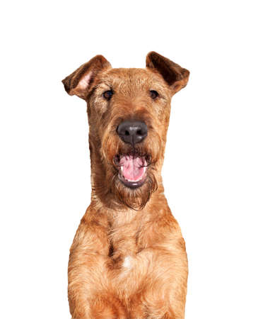 Portrait of young Irish Terrier close up on white background