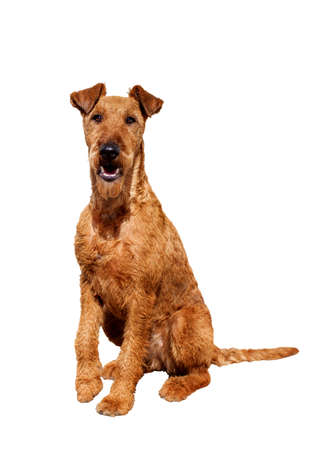 Young Irish Terrier dog sitting and looking at camera on white background