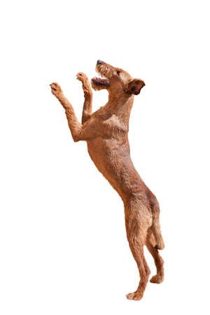 Irish Terrier standing on hind legs on white background Reklamní fotografie