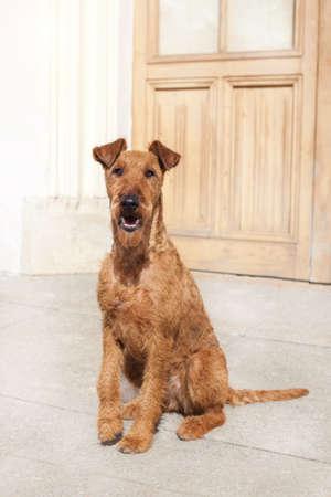 Irish Terrier sits and waits at the door.