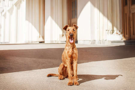 Young Irish Terrier sits at the station waiting. Reklamní fotografie