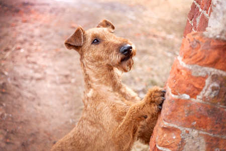 Irish Terrier on the background of a red brick wall