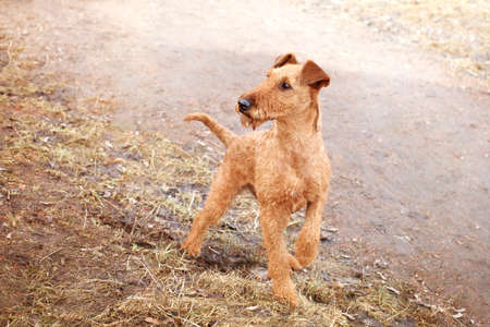 Red Irish Terrier on the background of a forest path