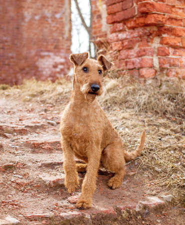 Irish Terrier sits on the background of a brick wall Reklamní fotografie