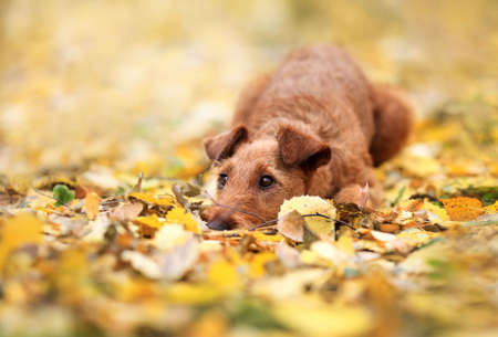Red Irish Terrier breed lies on autumn leaves and sad. Reklamní fotografie