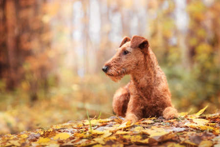 Red Irish Terrier breed lies in Park on autumn leaves and looks in side.