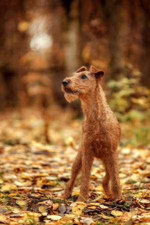 Red The Irish Terrier walks in the Park in autumn and looks up. Reklamní fotografie