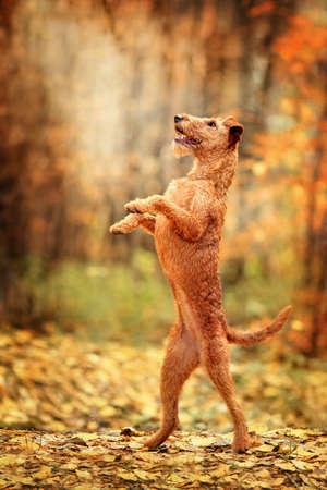 Irish Terrier dances on its hind legs. Trick.