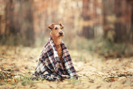 The Irish Terrier sits alone wrapped in a blanket in the autumn forest. Reklamní fotografie