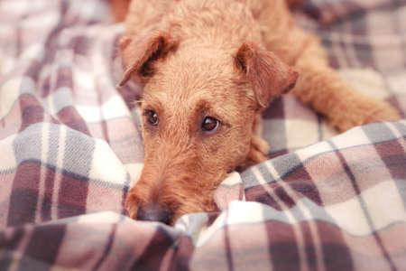 Red Irish Terrier closeup lying on a blanket and sad