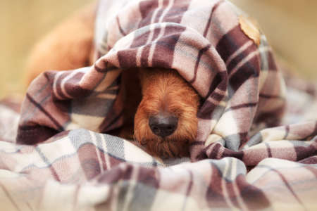 Red Nose Irish Terrier sticks out from under the blanket Reklamní fotografie
