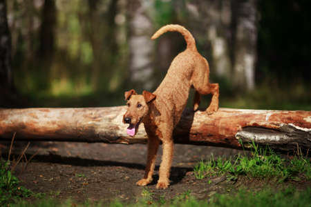 Red dog performs the trick wall on the tree. Obedience.