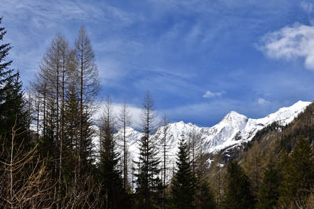 Straight coniferous trees in Valmalenco. In the background the mountains of the Disgrazia mountain group.
