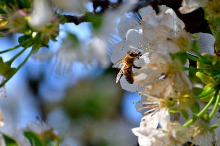 Picture of a bee collecting pollen from cherry flowers. The position of the flower in a corner give the possibility to create postcard and life message.
