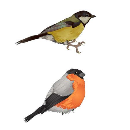 bullfinch: forest birds. bullfinch. vector illustration