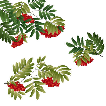 rowan tak met groene bladeren en bessen. vectorillustratie