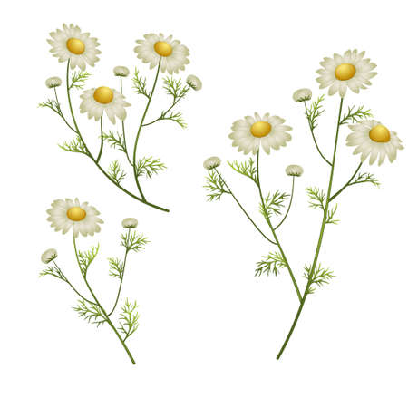 camomile flowers on a white background. vector illustration Illustration