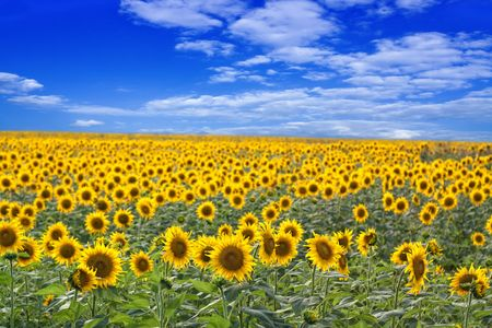 Beautiful sunflower field on a clear sunny day. Stock Photo