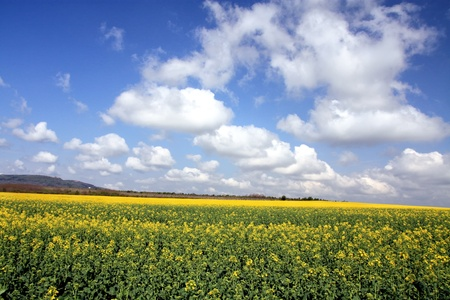Canola field on a clear summer day. photo