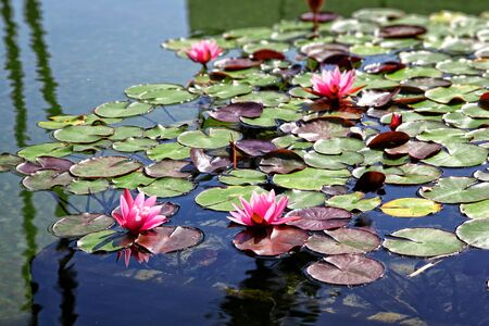 Lake with pink water lilies. photo