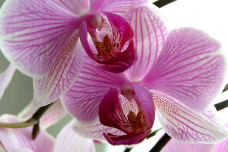 detai: Orchid